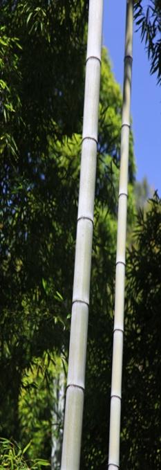 bamboo étiré