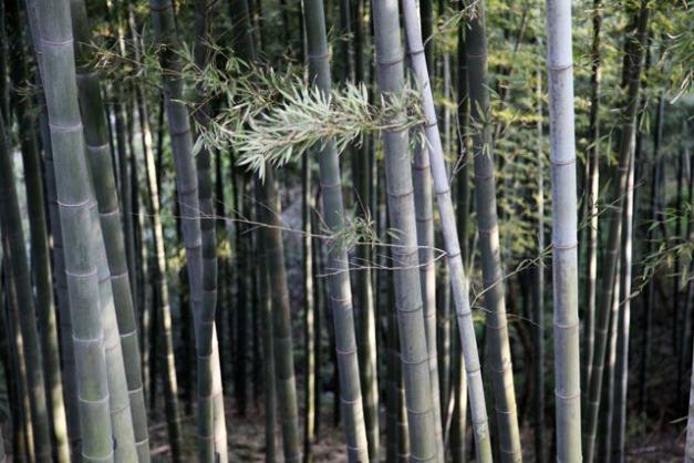 chaumes de bamboos