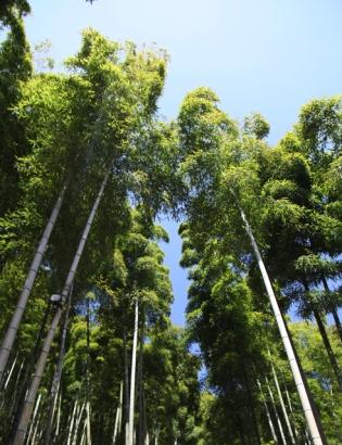 des bamboos 2