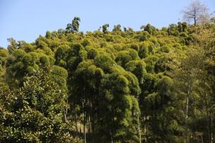 des bamboos 3