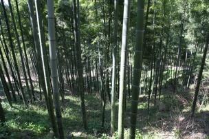 des bamboos