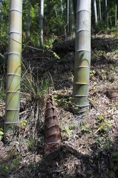 pousse de bamboo 2