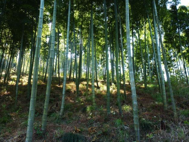 premiers bamboos