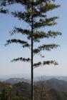 un bamboo