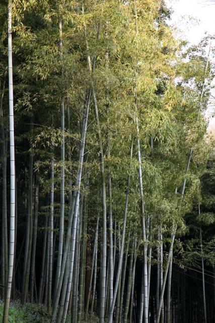 vieux bamboos