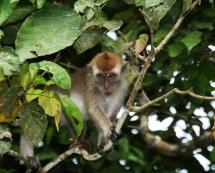 macaque 3