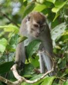 macaque 4