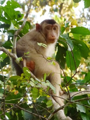 macaque 5