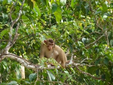 macaque 6