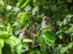 macaque 7