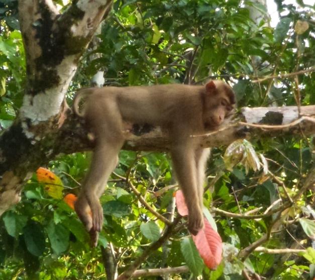 macaque dort