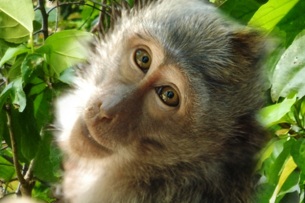 macaque gp