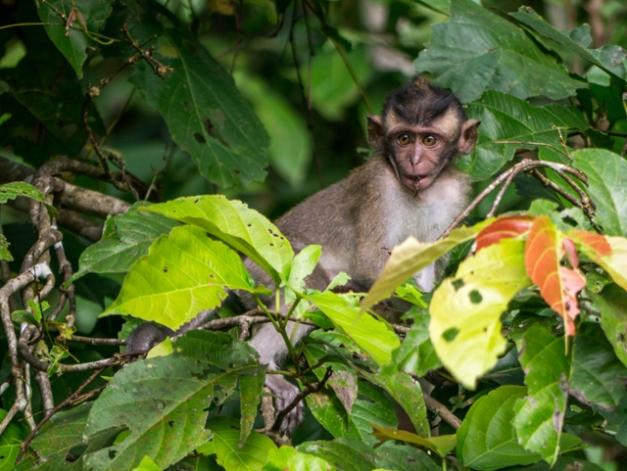 macaque jeune