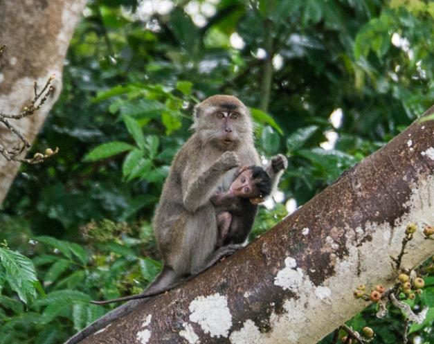 macaque mère +