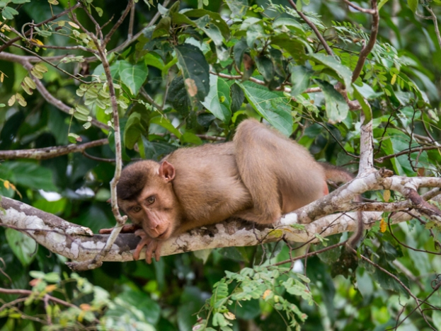 macaque roux